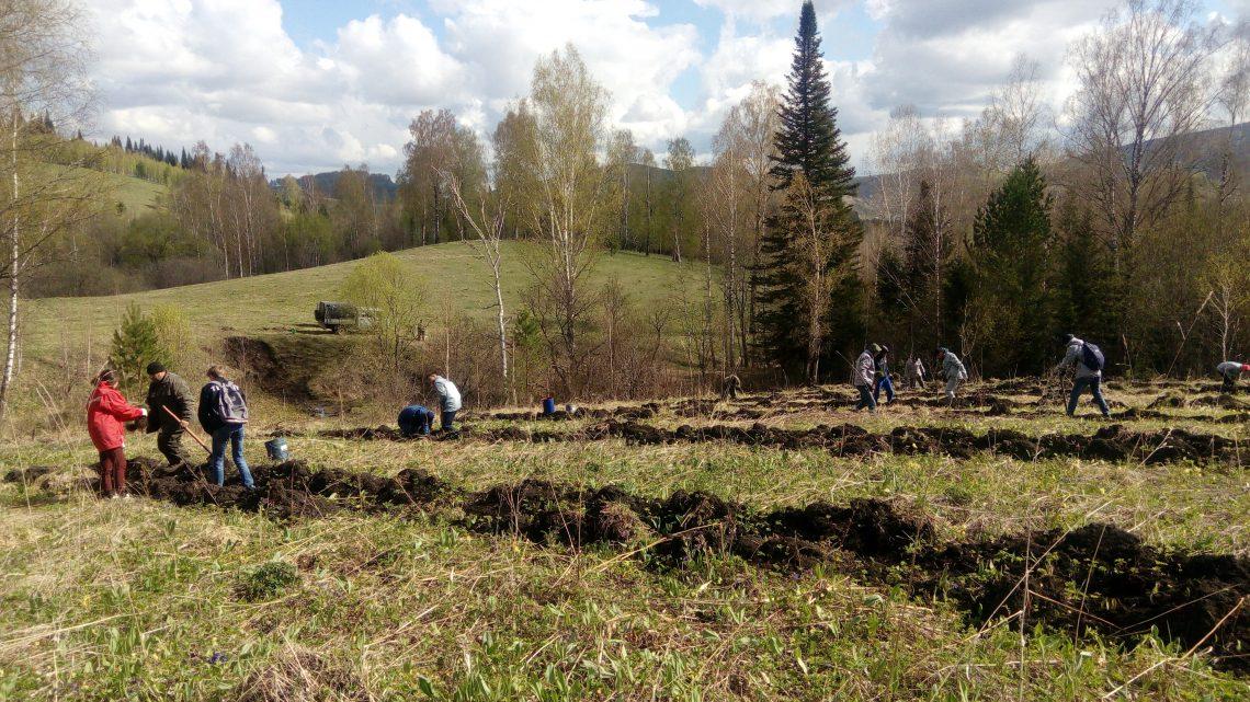 Активисты ОНФ в Республике Алтай посадили семь тысяч кедров