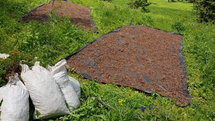 Менее чем за месяц в республике загублено свыше двух тонн золотого корня