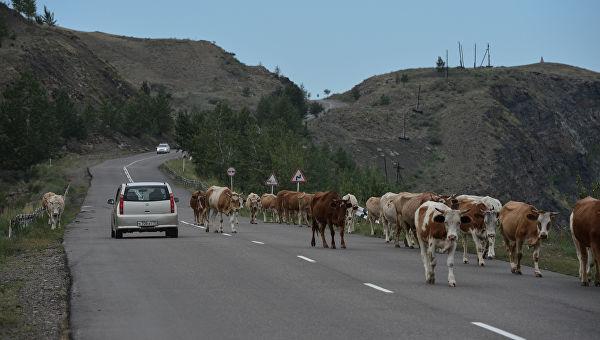 С начала года в Республике Алтай произошло 24 ДТП с участием животных