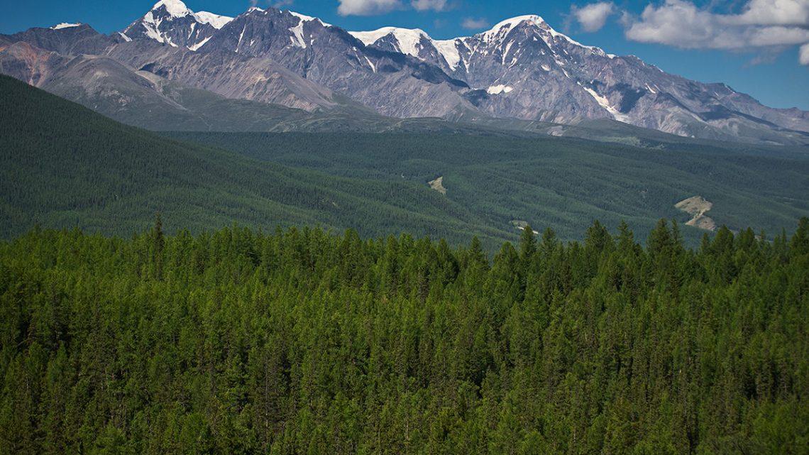 В Республике Алтай очаги вредных организмов более чем на 80 тысяч гектар леса признаны затухшими