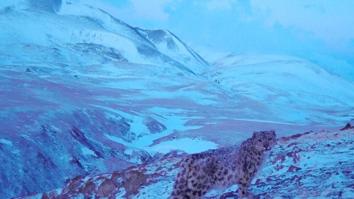 В Горном Алтае снежный барс по кличке Звезда снова позировал перед фотоловушкой