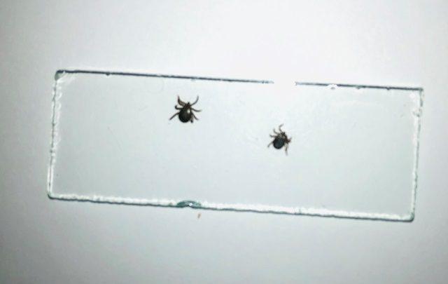 Специалисты прогнозируют высокую численность клещей в Республике Алтай в этом году