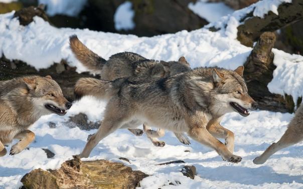 В Улаганском районе волки задрали более сорока лошадей и коров