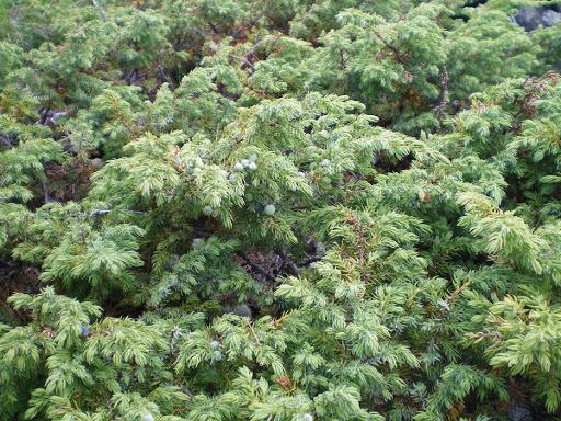 Из арчына веников не вяжут! В Республике Алтай обсудили издержки обращения с почитаемым местными жителями растением