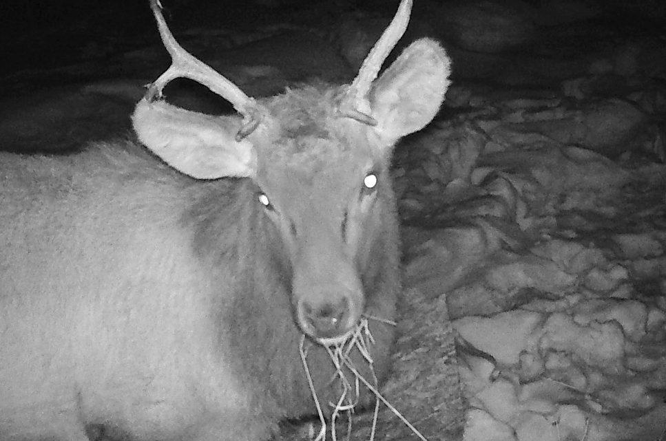 В Алтайском заповеднике в фотоловушку попал необычный марал
