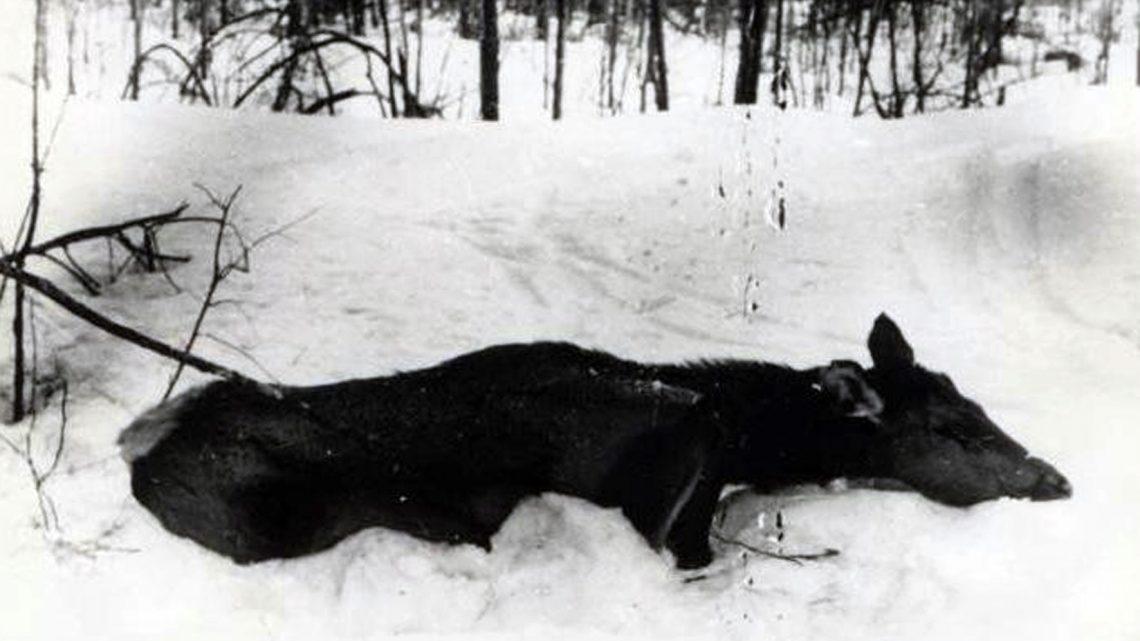 Многоснежье — грозный фактор в жизни оленей