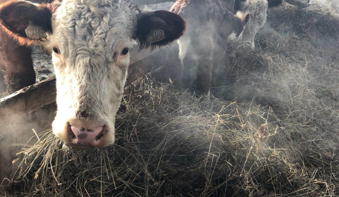 7 центнеров кормов на условную голову. О зимовке скота в Майминском районе