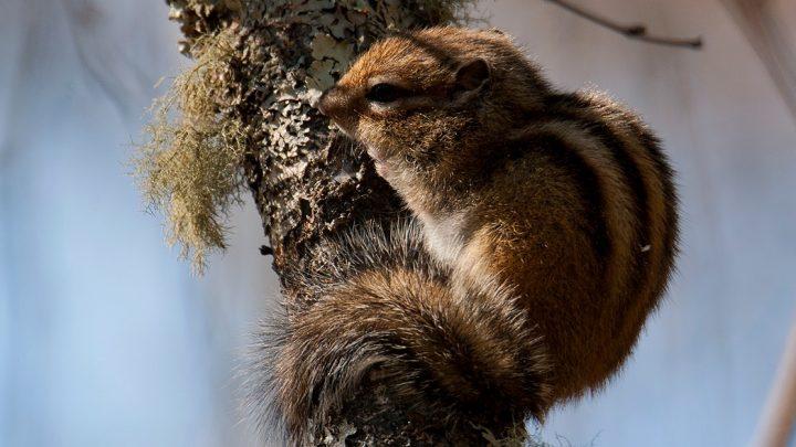 Бурундуки и медведи вышли из зимней спячки в Алтайском заповеднике